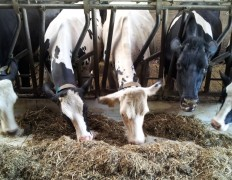 Einige unserer Kühe beim Fressen