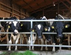 Kühe sind von Natur aus neugierig